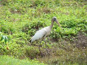 wood stork bird