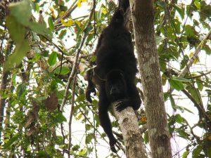 black howler monkey in a tree, Belize