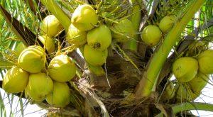 coconuts, coconut tree, Belize