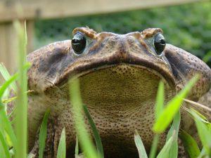 Maraine toad, amphibian
