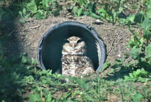 Burrowing owl at their center