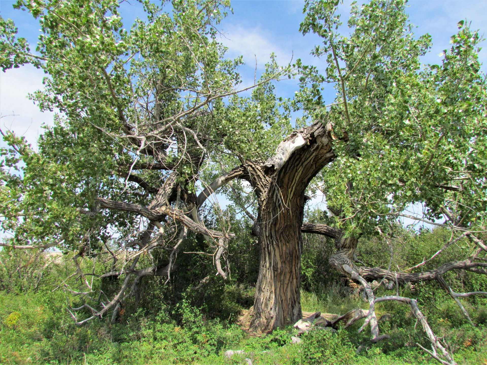 The Plains Cottonwood Tree