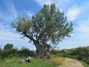 Cottonwood tree in Alberta