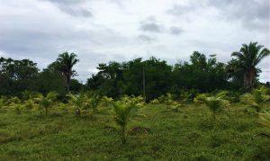 field of coconut trees