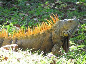 green iguana lizard reptile