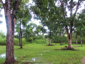 multiple mahogany trees in Belize