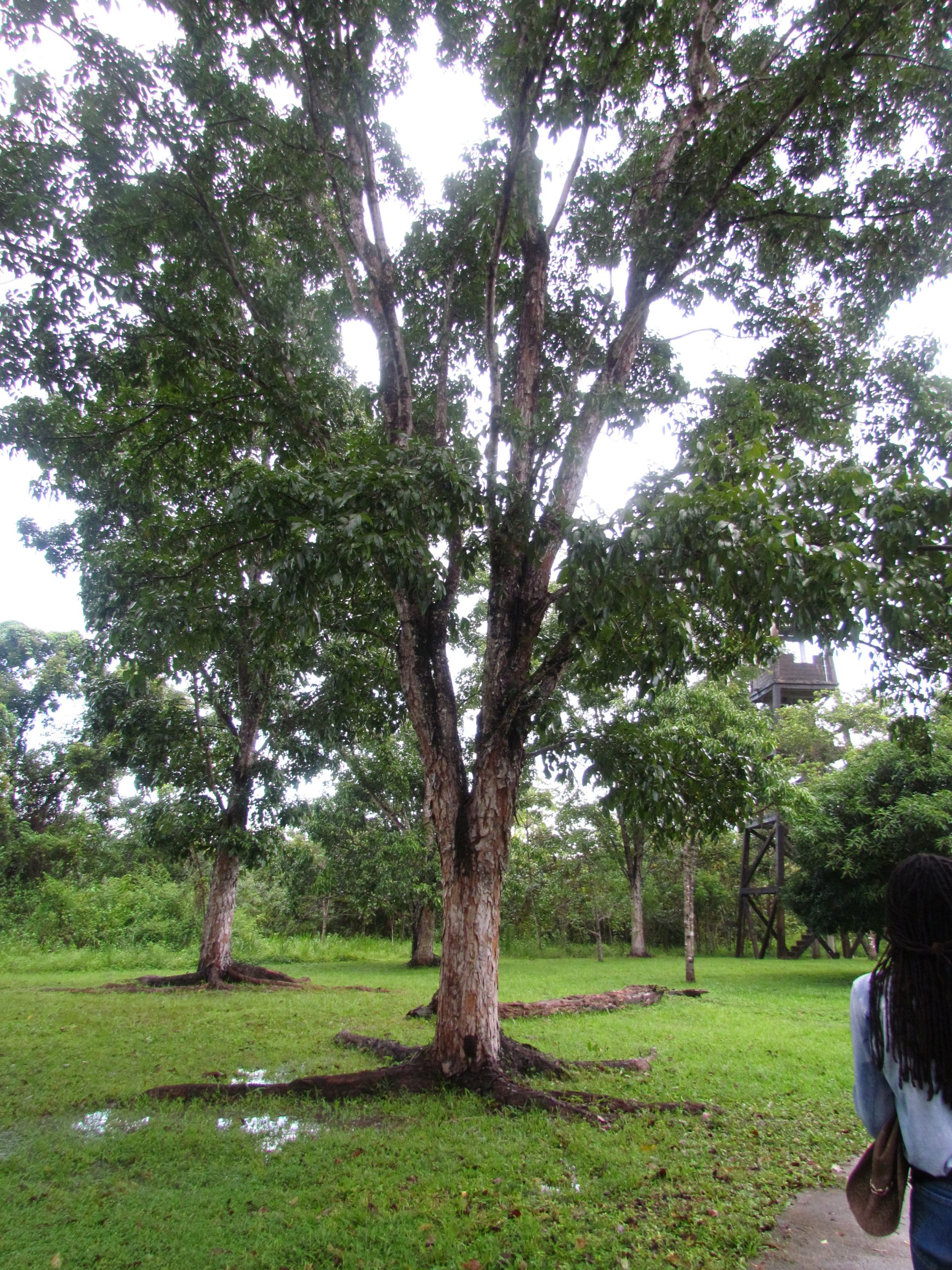 The Mahogany Tree of Belize