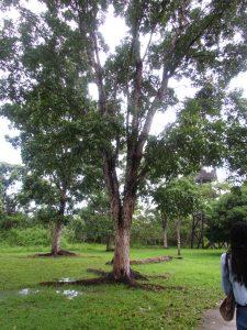 mahogany trees of Belize