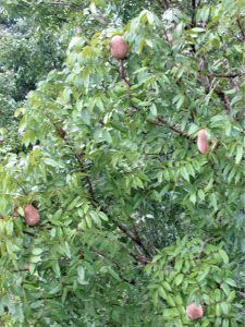 multiple mahogany tree seed pods in Belize