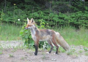 red fox in northern Ontario