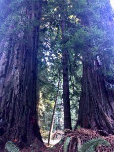 Reddwood trees of California