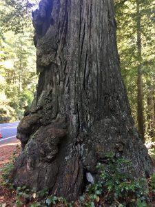 giant cedar tree by highway