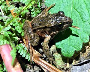 Red Legged Frog in California