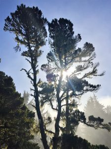 tree at Patricks Point State Park