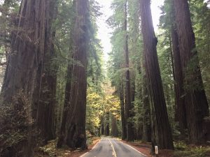 road and trees at Avenue of the Giants