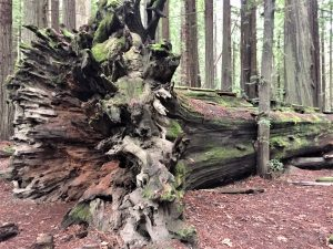 blown down tree at Avenue of the Giants