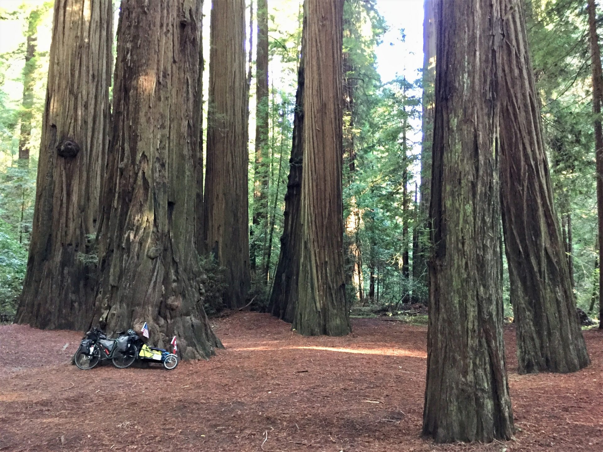 Coast Redwood tree and bike