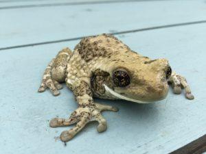 Milky tree frog, amphibian