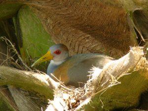 grey necked wood rail bird