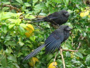 black ani birds in a lemon tree